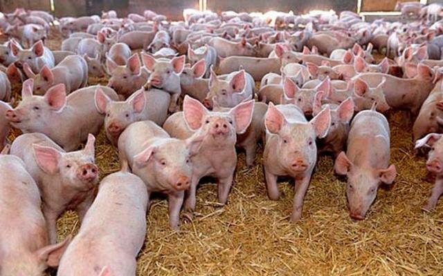 În Timiş nu avem focare de pestă porcină