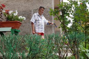 Culmea hărniciei: un pensionar din Arad a vopsit gardul viu
