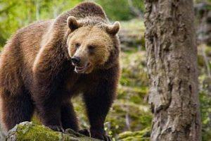 Atacat de urs la stână