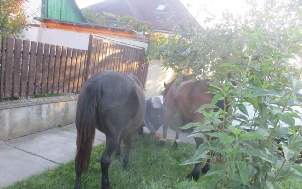 Pe ce străzi din Timişoara se plimbă caii în voie