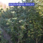 Grup care cultiva şi vindea cannabis, pus pe butuci de mascaţi şi procurori