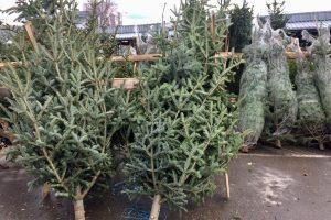 Romsilva scoate la vânzare în acest an 40.000 de pomi pentru Crăciun