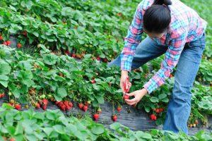 Spaniolii caută români pentru cules de fructe. Ce alte țări din Europa fac angajări