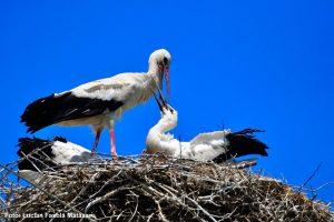 Societatea Ornitologică Română îi invită pe bănățeni să ajute la protecția berzelor