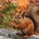 Parcul din Buziaș va fi repopulat cu veverițe