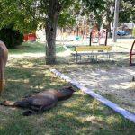 Timişoreni amendaţi pentru cai lăsați în libertate pe străzi și animale de fermă crecute în zone în care acest lucru este interzis