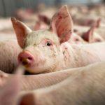 Suspiciune de pestă porcină în Timiş