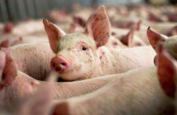 Au fost ridicate restricțiile sanitare împotriva pestei porcine la Belinț