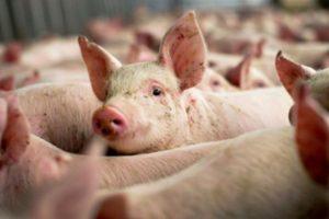 Focarele de pestă porcină din Arad, lichidate în curând