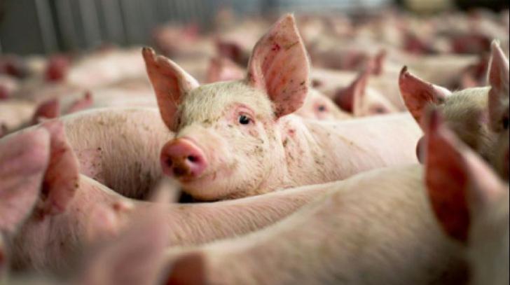 Toţi porcii dintr-un sat arădean vor fi omorâţi din cauza pestei porcine