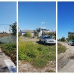 Autoritățile din Giroc luptă pentru eradicarea ambroziei