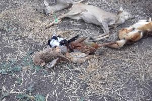 Animale sălbatice otrăvite pe un câmp din Timiş