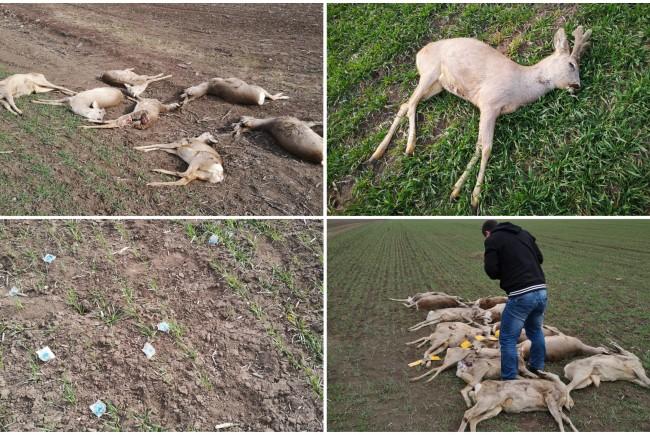 Imagini revoltătoare cu cadavrele unor căprioare pe un câmp din județul Arad