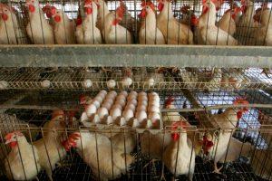 Măsuri împotriva unui posibil focar de gripă aviară anunțate de autoritățile din Timișoara