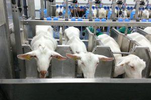 După pesta porcină, o nouă boală riscă să afecteze zootehnia românească