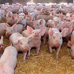 Ce trebuie să ştie timişorenii care cresc porci