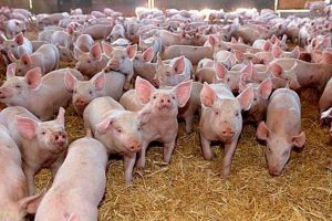 Ce măsuri trebuie luate în plin sezon de răspândire a pestei porcine