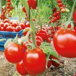 Guvernul prelungește termenul privind sprijinul financiar pentru producătorii de tomate