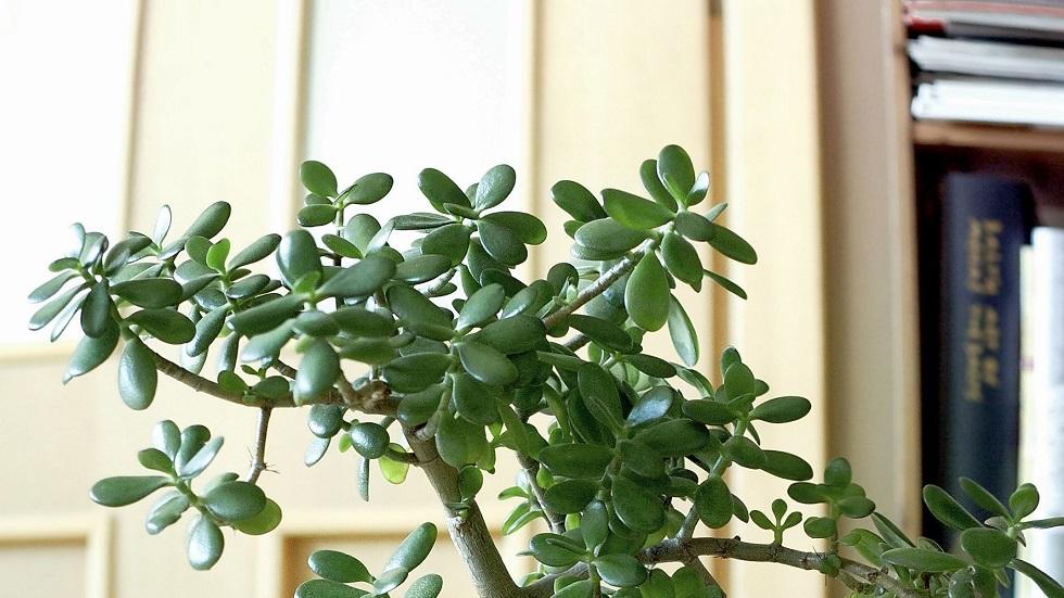20294673 - jade plant