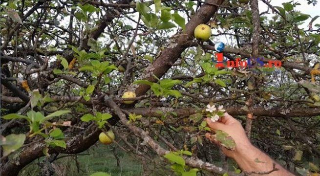 Merii, salcâmul şi magnoliile au înflorit, din nou în Banat
