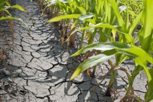 Timișul, cel mai calamitat județ din cauza secetei