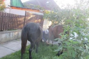 Proprietara cailor depistați joi de polițiștii locali în Plopi, identificată și amendată