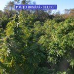 2,4 tone de cannabis confiscată de polițiștii de combatere a criminalității