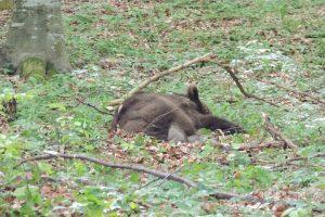 Anchetă la Arad, după ce un urs a fost împuşcat la o partidă de vânătoare de mistreţi