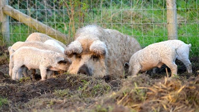 Program de sprijin pentru crescătorii de porci din rasele Bazna și Mangalița