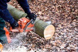 """92 din 100 de salcâmi de pe """"Loga"""", buni de tăiat! Primăria, obligată să planteze alți copaci până în aprilie"""