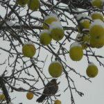 Ninsoarea şi frigul au afectat pomii fructiferi în Timiș