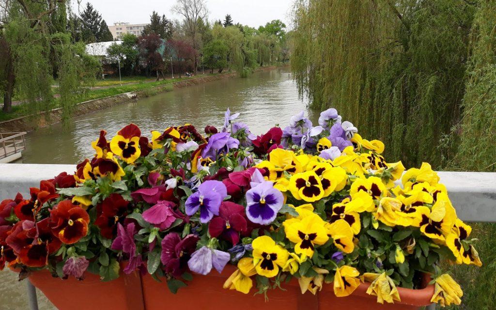 Florile de pe Podul Michelangelo, motoare turate la maxim și drifturi pe străzi, motive de amenzi la Timișoara