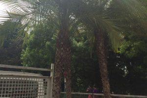 Au reapărut palmierii pe străzile din centrul Timișoarei