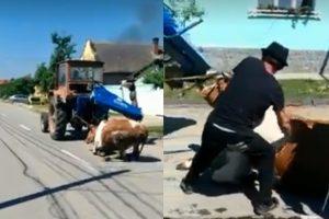 """Video revoltător!!! Sălbatici, pe șosea, la Giroc! Au tărât un taur """"în genunchi"""", cu tractorul, pe asfalt!"""