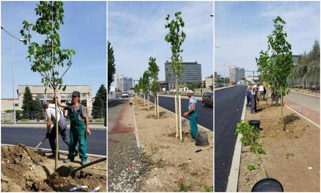 Peste 300 de castani cu floare roz au fost plantați pe strada Popa Șapcă din Timișoara