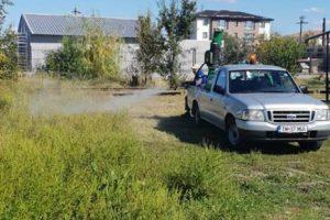 Acțiune de erbicidare privind combaterea ambroziei în Giroc și Chișoda