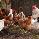 A început vaccinarea animalelor și păsărilor din gospodăriile timișenilor