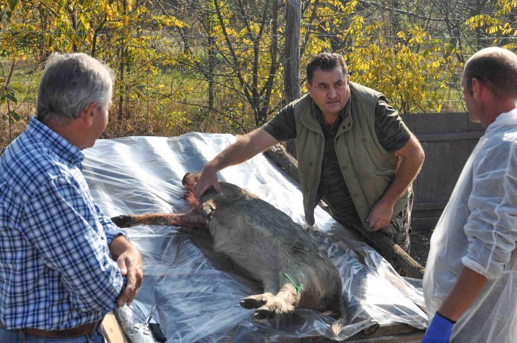 Cinci mistreți găsiți morți la fonduri de vânătoare din Timiș. Cauza este pesta porcină africană
