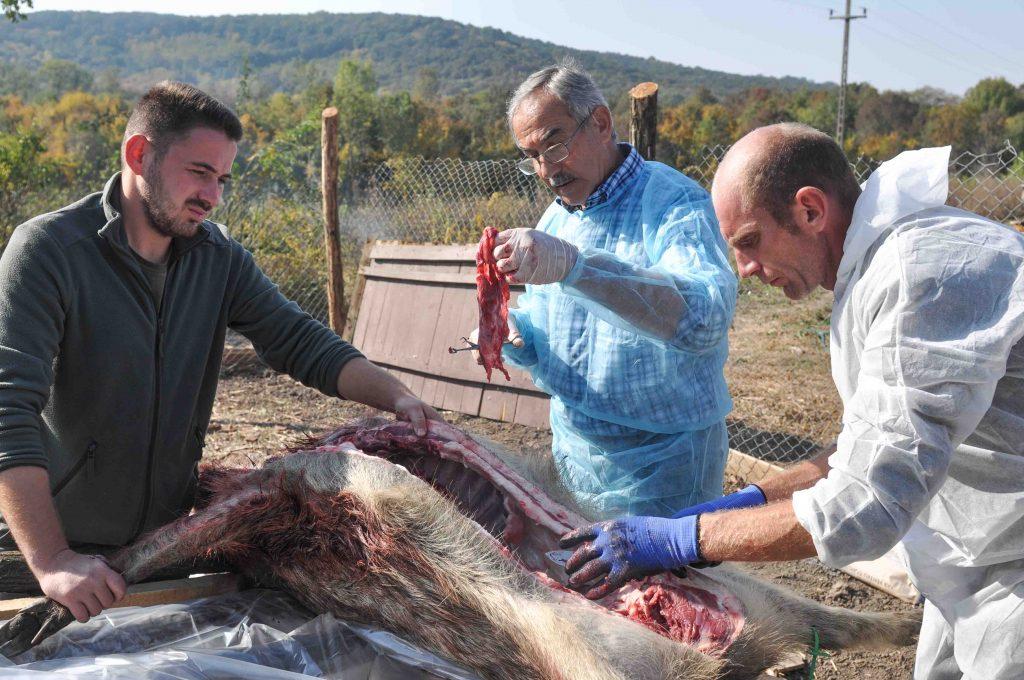 Focar de pestă porcină africană la mistreţi, în Timiş