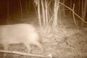 VIDEO/ Animal inedit în România, surprins de camerele de supraveghere instalate într-o pădure din Caraș Severin