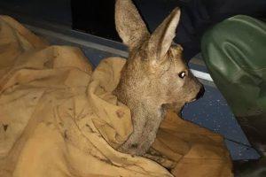Bambi de Cenei, salvată de pompierii timişeni