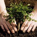 Tinerii însurăței din Buziaș vor primi un copac pe care îl vor sădi în Parcul Central