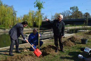 Sute de sălcii şi magnolii plantate pe malul Begăi