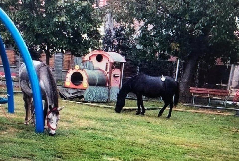 Caii pasc liberi prin parcurile din Timişoara