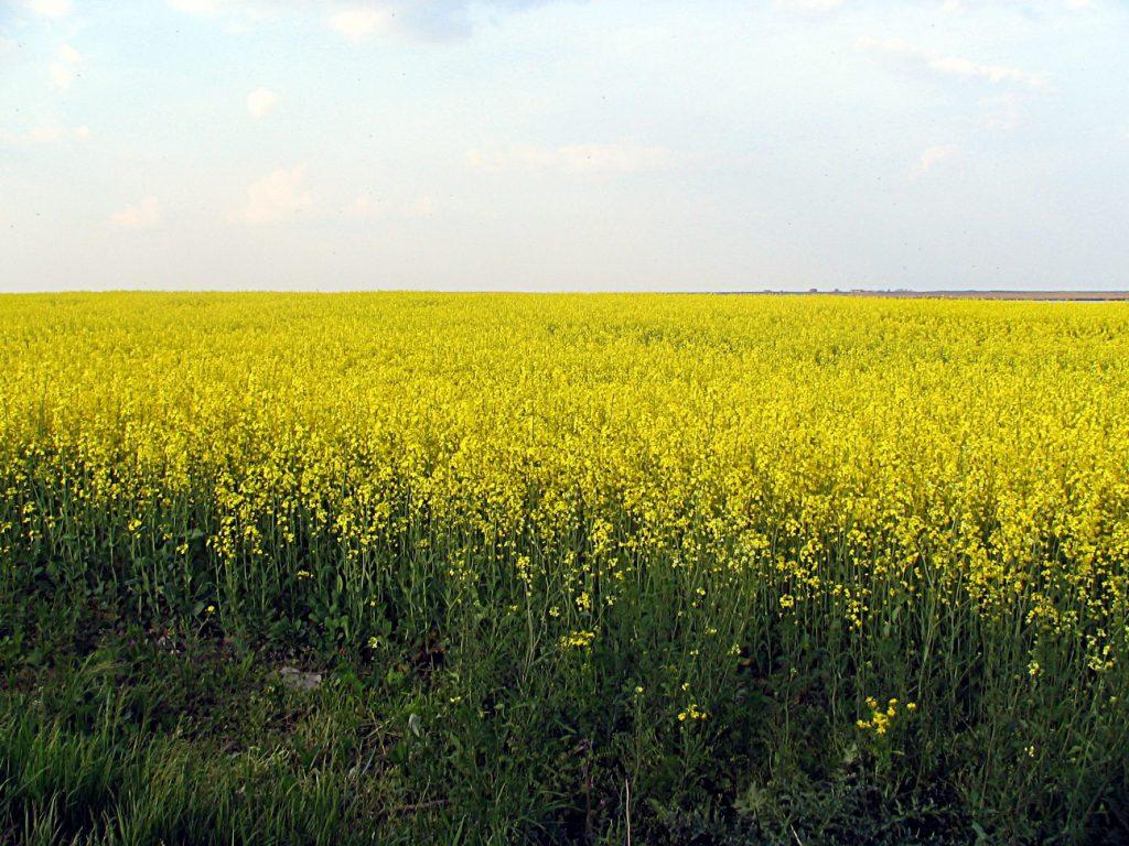 În Timiş, seceta afectează culturile de grâu și rapiță