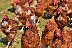 Noi focare de gripă aviară înalt patogenă, aproape de Timiş