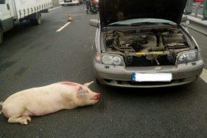 Accident pe A1, din cauza unui animal căzut din camion