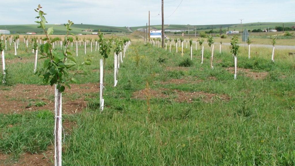 Peste 30.000 de pomi fructiferi şi ornamentali au fost plantaţi la Recaş în ultimii ani FOTO-VIDEO