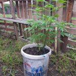 Zeci de plante de cannabis, descoperite de poliţişti în Arad