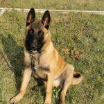 Nou membru în echipa canină a jandarmilor timișeni